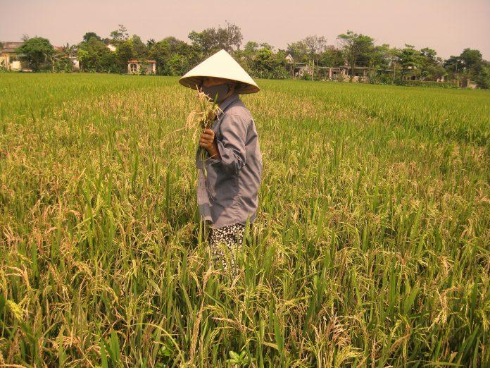 Lúa sinh khôn- Thơ Bùi Xuân