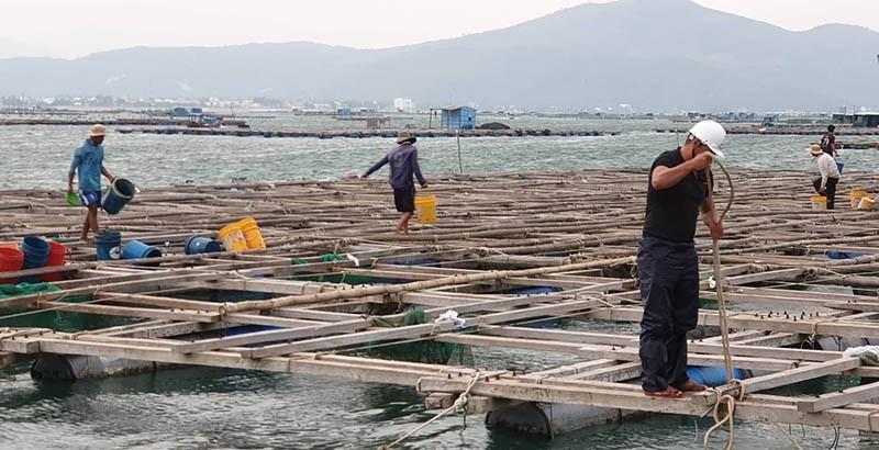 Vẫn còn nhiều người làm việc trên các bè nuôi thủy sản ở vịnh Xuân Đài, thị xã Sông