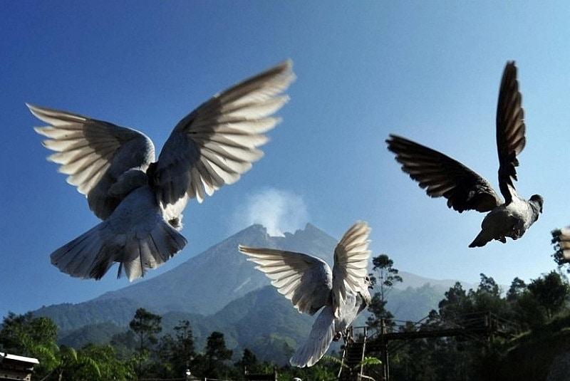 Đàn chim bồ câu bay qua sườn núi lửa Merapi của Indonesia vào ngày 4-6-2018. Merapi là ngọn núi lửa năng hoạt động nhất tại Indonesia và phun trào thường xuyên từ năm 1548. Nằm gần thành phố đông dân của thành phố Yogyakarta, những vụ phun trào trong quá khứ của Merapi đã tàn phá người dân địa phương
