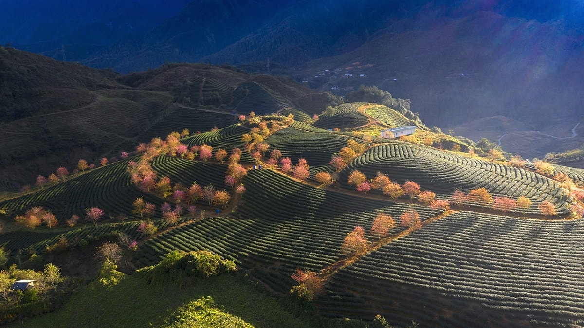 """Bức ảnh Đồi chè thị trấn Sa Pa của tác giả Nguyễn Việt Cường. Anh mô tả, """"Ánh mặt trời chiếu xuyên qua những tán cây đang nở hoa xuống đồi chè là một khoảnh khắc kỳ diệu, mê hoặc"""". Sa Pa có khí hậu độc đáo với 4 mùa trong một ngày. Mùa xuân vào buổi sáng, mùa hè buổi trưa, mùa thu buổi tối và mùa đông vào ban đêm."""
