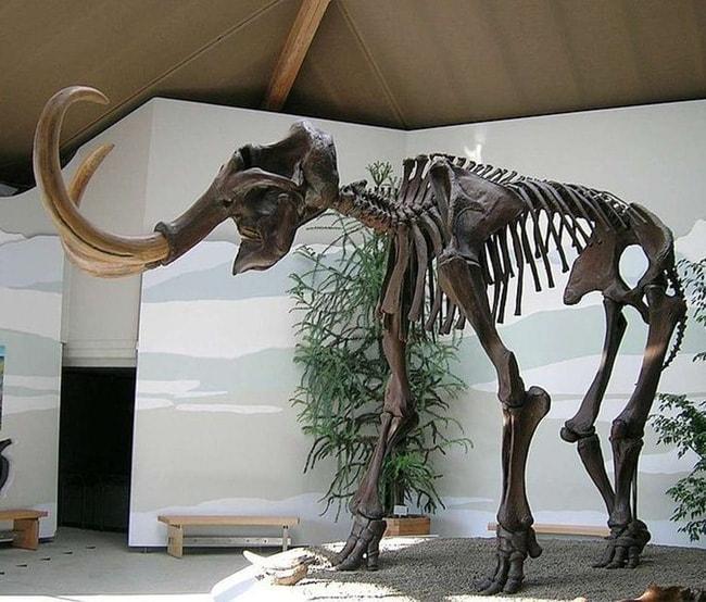 Bộ xương hoàn chỉnh của một con voi ma mút trưng bày trong viện bảo tàng.