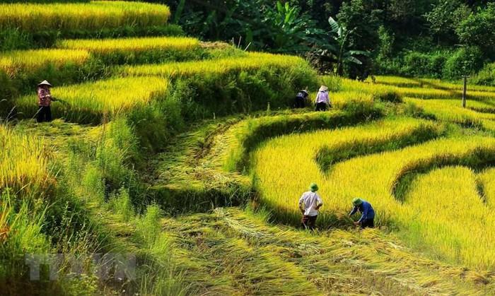 Cuối tháng Tám, đầu tháng Chín là thời điểm lúa Y Tý ngả vàng và cũng là thời điểm người dân nơi đây vào mùa gặt. (Ảnh: Thành Đạt/TTXVN)