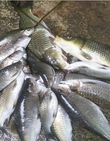 Cá ha liêng (Haliêng) - Còn gọi là các niên (sống vùng núi cao)