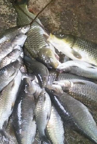 Cá trắng bắt trên sông (Ảnh: St)