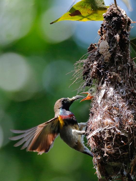 Một bức hình ghi lại cảnh tổ của loài chim quý ở Sơn Trà - Ảnh: BTC cung cấp