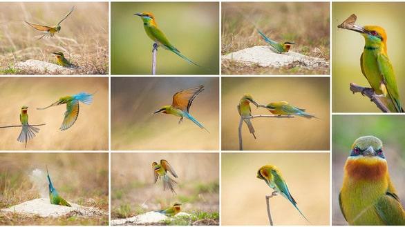 Bộ ảnh về một loài chim quý ở Đà Nẵng - Ảnh: BTC cuộc thi cung cấp