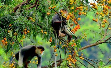 Nơi dễ tìm thấy vọoc chà vá chân nâu nhất trong tự nhiên là tại bán đảo Sơn Trà