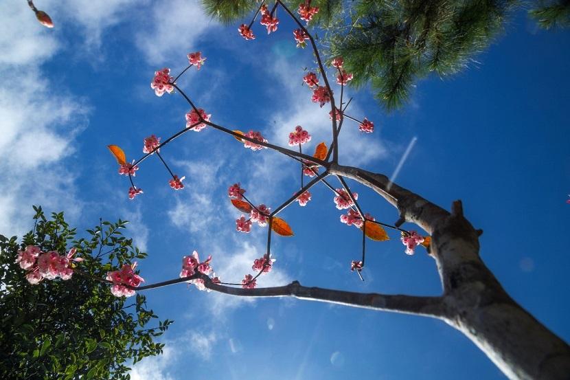 Đào chuông là loài hoa quý hiếm, được xếp vào sách đỏ với số lượng ít và cần được bảo tồn. Trên thế giới, đào chuông xuất hiện từ những năm đầu của thập kỷ 70, chỉ còn mọc rải rác ở nước Úc và Trung Quốc.