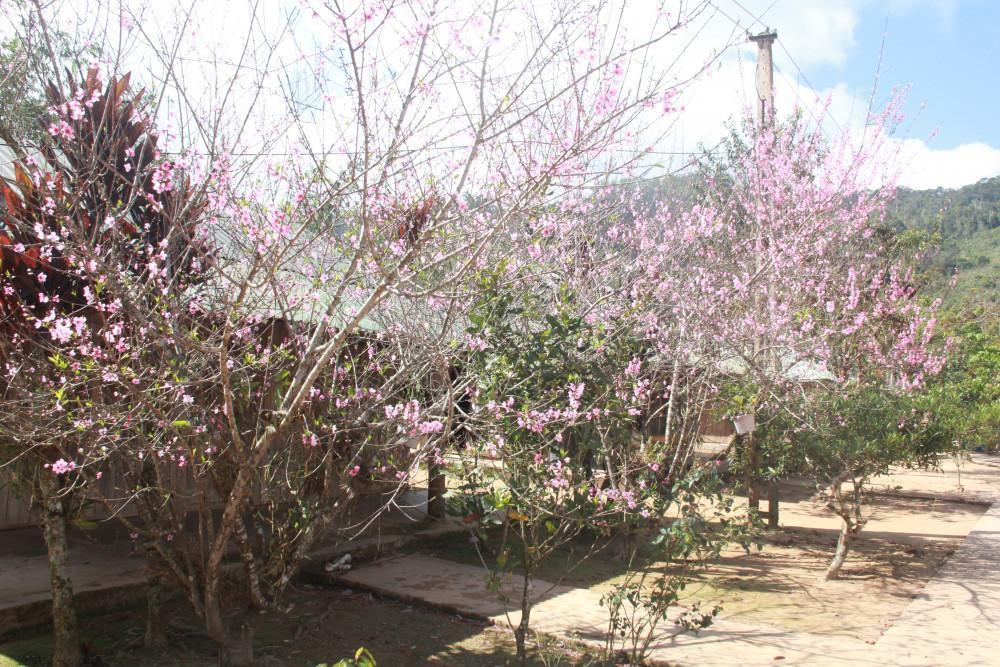 Trước khoảnh sân mỗi nhà đều có một gốc mai đang bung hoa rực rỡ