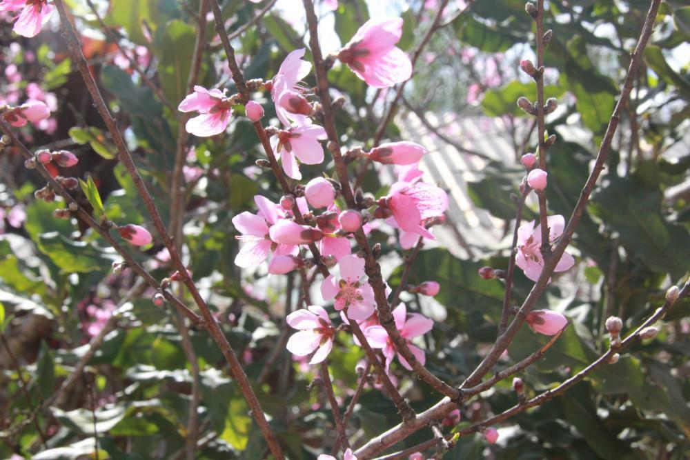 Mỗi bông hoa mai thường có 5 cánh, màu hồng nhạt. Theo già Pơlong Dinh, hoa nở sớm nhưng lâu tàn, nhờ có không khí lạnh thích hợp hơn so với khi ở rừng.