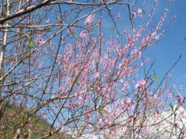 Quảng Nam: Làng mai rừng màu hồng rực rỡ nơi biên giới - Giới Thiệu