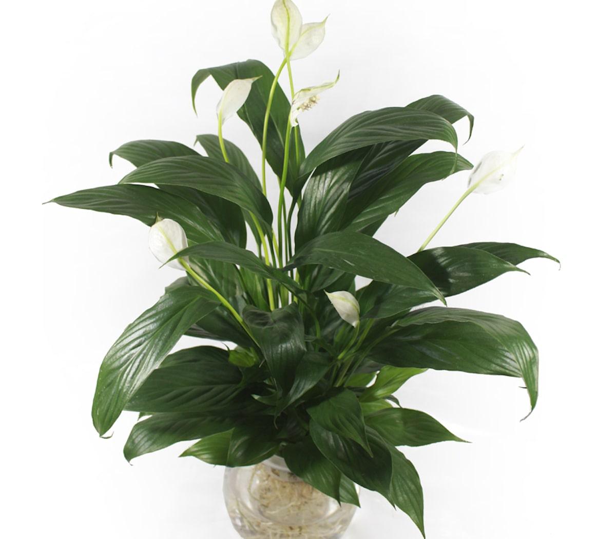 Lan ý có công dụng loại bỏ các hợp chất hóa học trong nhà như benzen, formaldehyd. Đây là một trong số ít những cây có thể nở hoa trong nhà.