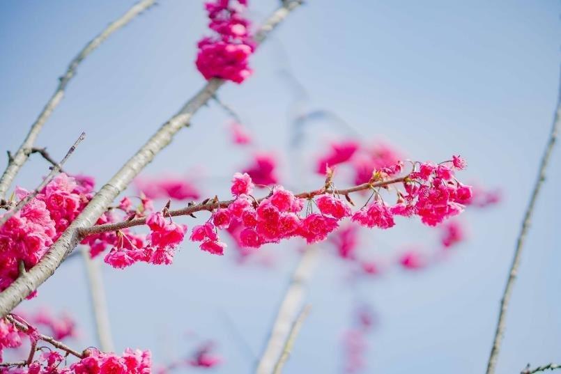 Chiêm ngưỡng 200 gốc anh đào Nhật Bản, loài hoa nổi tiếng với vẻ đẹp quyến rũ, mong manh ngay tại Sun World Fansipan Legend