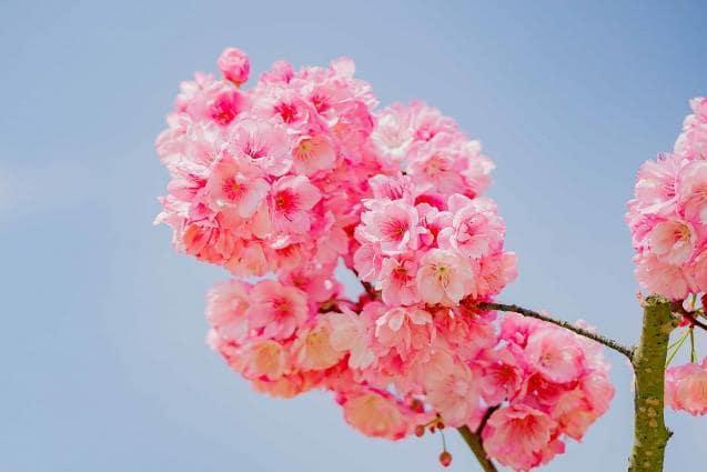Anh đào Nhật Bản vốn nổi tiếng như biểu tượng của sự mong manh, duyên dáng như những nàng thơ của mùa xuân. Giống anh đào Nhật Bản được khu du lịch Sun World Fansipan Legend đưa về và tỉ mỉ, kỳ công vun trồng từ cách đây 4 năm, xuân này đã bung nở những chùm rực rỡ, yêu kiều, khiến du khách chẳng cần tới Nhật Bản xa xôi cũng được thưởng lãm mùa hoa anh đào Nhật Bản tuyệt diệu.