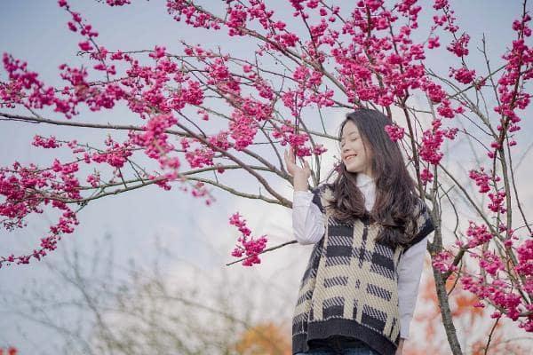 Du khách có thể chiêm ngưỡng anh đào Nhật Bản tại khu vực ga đi Sun World Fansipan Legend, nơi quy tụ 45 gốc anh đào Nhật Bản lớn với chiều cao trên 3m, tán rộng 2,8 – 3m, trải đều ở vườn hoa bốn mùa, đồi chè, ga tàu hỏa leo núi Mường Hoa. Tại khu vực vườn hoa bốn mùa, dọc tuyến tàu hoả Mường Hoa, 200 cây anh đào Nhật Bản kích cỡ nhỏ hơn cũng đang tưng bừng khoe sắc.