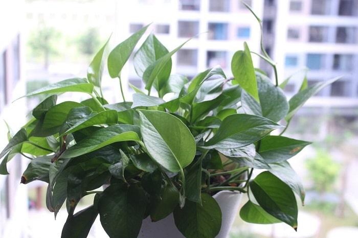 Trầu bà là cây ưa sáng, dễ trồng. Trầu bà có thể loại bỏ nhiều chất độc hại có trong không khí như benzene, fomandehit, tricloetylen, toluene và xylen.